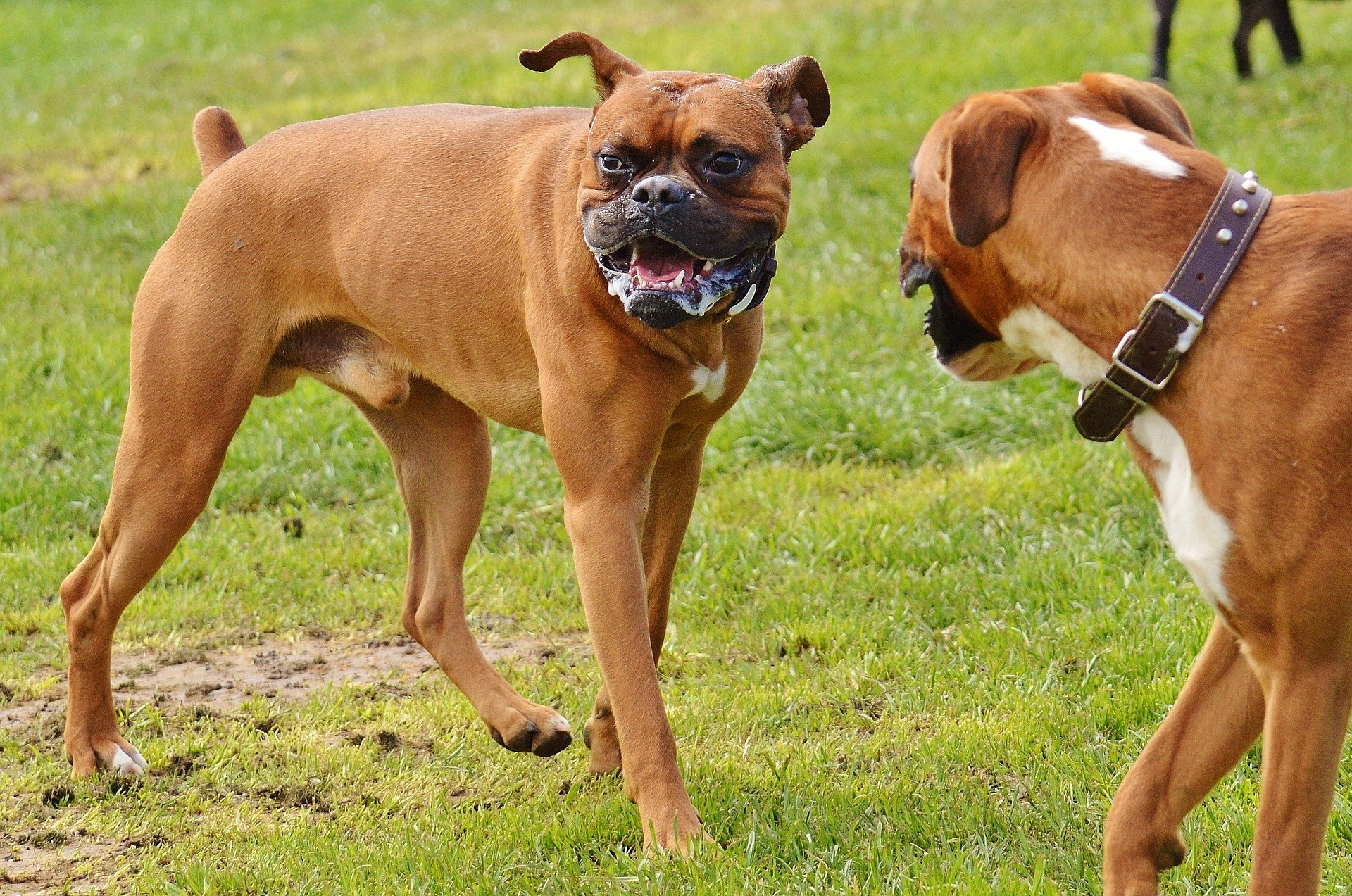 Boxer Dogs 1321217 1920 Dog Trainer